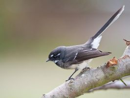 Grey Fantail by 88-Law