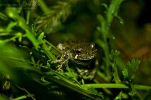Gray Tree Frog On Grass by MiaLeePhotography