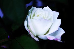 White Rose by BecomeOneDa