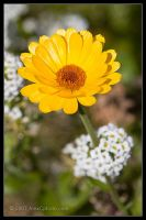Yellow Wild Daisy by AlexCphoto
