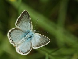 Butterfly 70 by polag13