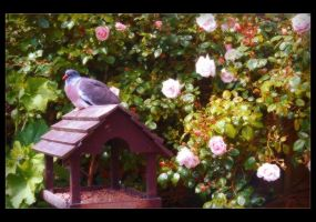 A Pigeon Amongst the Roses by Forestina-Fotos