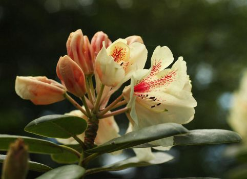 Ivory Coloured Rhododendrons by AgiVega