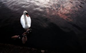 Swan and Young by donncha