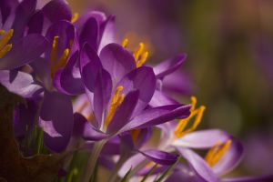 Purple Crocus March - 2014 - 1 by toshema