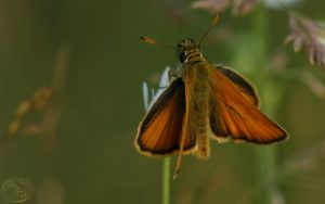 Small Skipper by webcruiser