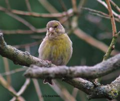Greenfinch / Gruenfink by bluesgrass