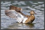 Female Cinnamon Teal 1 by kootenayphotos