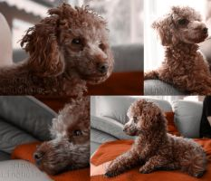 Pilo the Toy Poodle.. by Najnaah