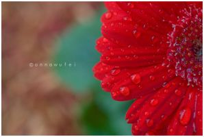 Rain Drops on... Daisies? by onnawufei
