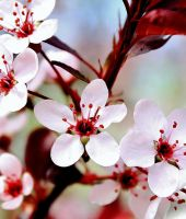 Sand Cherry Flowers 11 by Twiztid-Juggalette13