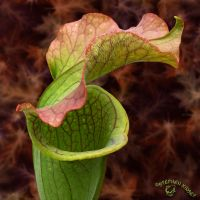 Pitcher Plant by FauxHead