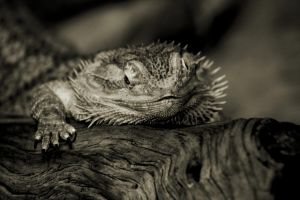 the Bearded Dragon by roamingtigress