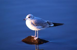 Herbert the seagull by Lentaro92