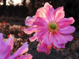 Autumn anemone by rosaarvensis