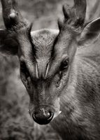 A Muntjac Named Jack by DeniseSoden