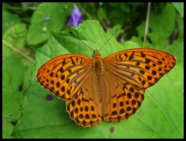 Orange Butterfly by Irkaaa