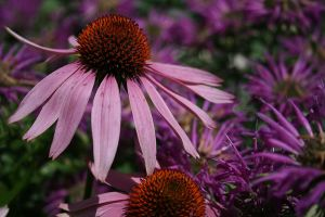 Echinacea and Bee Balm by OtherWorldsArt