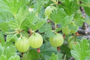 Young gooseberries by Kattvinge