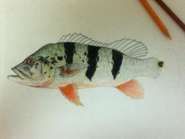 Peacock Bass .04 by scientificartist