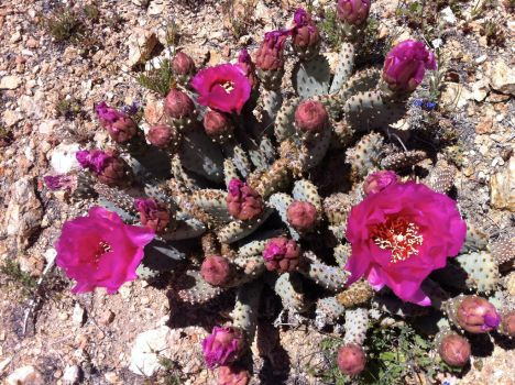 Beavertail Cactus by CraveTheWave