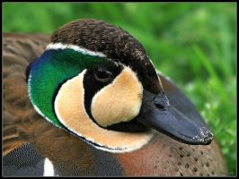 Baikal Teal Portrait by cycoze