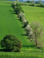 Hawthorn hedge by piglet365