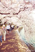Cherry Blossoms 2012  -2- by Mechanical-Koi