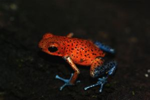 San Cristobal Poison Frog by MonarchzMan