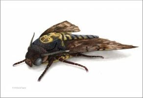 Death Head Hawk Moth by Egan7