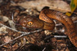 Brown tree snake 2 by JeremyRingma