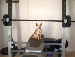 Chihuahua Lifting Weights by merwolves