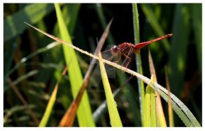 Dragon fly by sharan