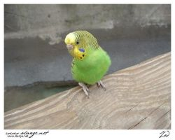 Parakeet 3 by jedro