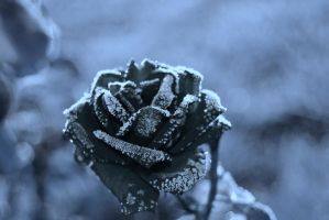 Frosted Rose by sweetz76
