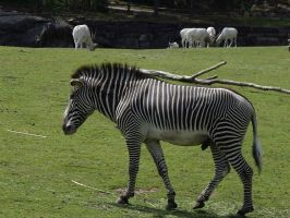 Grevys Zebra by decors