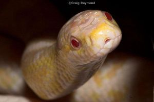 Snow Corn Snake by shadowsonic009