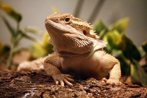 Bearded Dragon 12 by MegMarcinkus