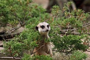 Meerkat in the woods by panna-cotta