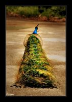 Peacock by cedrus