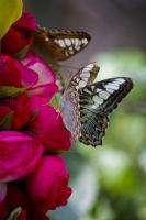 Butterfly0011 by kismuntr
