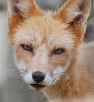 Baby Red Fox Close-Up by filemanager