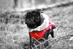 Black and White pug by Spetsflickan