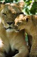 3140 - Lions by Jay-Co