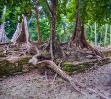 Massive roots in the Mexican Jungle by zootnik