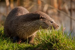 Otter in the sun by NicoFroehberg