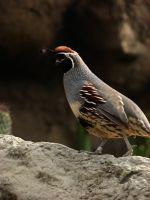 Gambel's Quail - Male by witchlady750