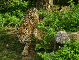 jaguar182 by redbeard31