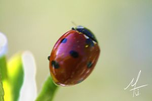 lady.Beetle by Ave117