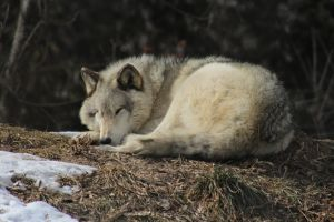 Wolf Stock Ecomuseum 82 by wolf-alchemy